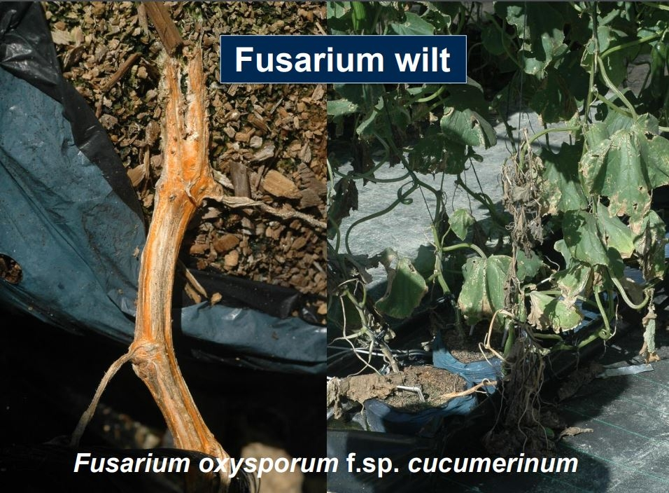 Webinar: Fusarium wilt management in vegetables