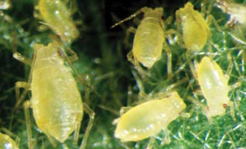 Webinar: Green peach aphid resistance management with Dr Siobhan de Little