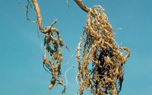 Webinar: Nematodes in vegetable soils - managing the bad and good ones