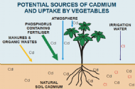 Managing cadmium in vegetables
