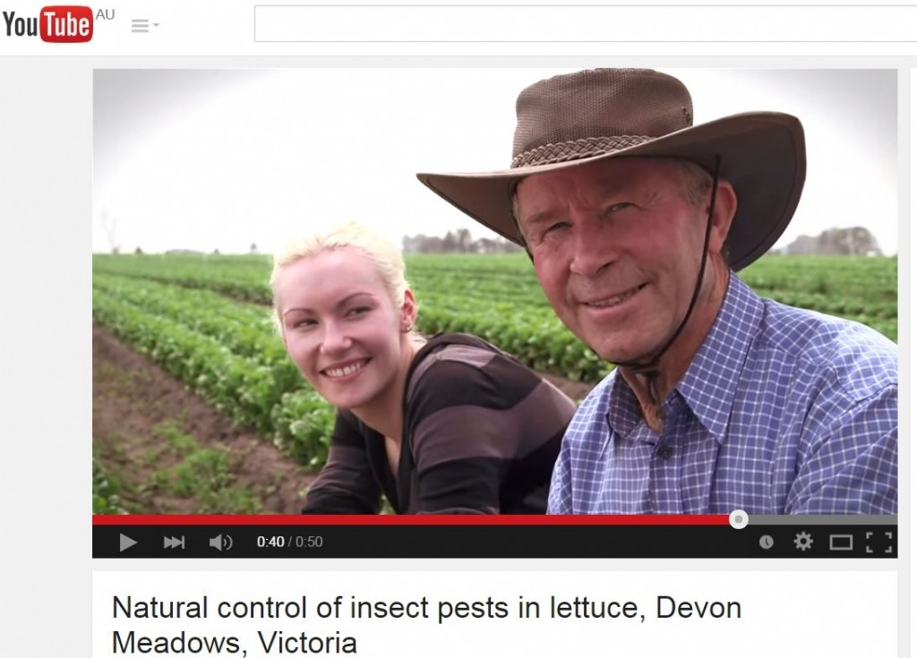 Natural control of insect pests in lettuce