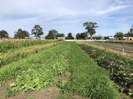 Cover crop trial discussion: East Gippsland Vegetable Innovation Days