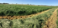 Should you be making hay from your cover crop?