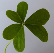 Integrated weed management - Oxalis (Oxalis spp.)