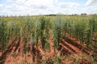 Cover crops for cucurbit growers in Katherine, NT: Results of 2020 demo site