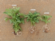 Integrated weed management - Volunteer Potatoes (Solanum tuberosum)