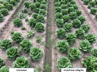 Using mycorrhizae to boost vegetable crop quality and yield