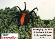 Managing Redback Spiders In Broccoli