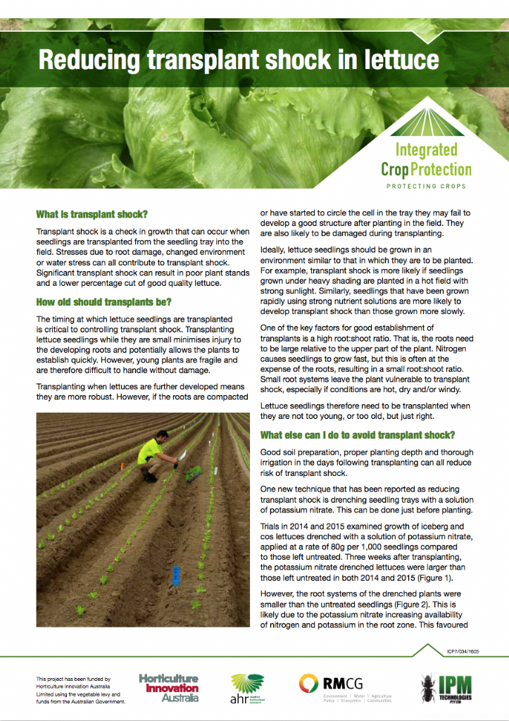 Reducing transplant shock in lettuce