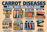 Carrot diseases and other factors affecting carrot packout