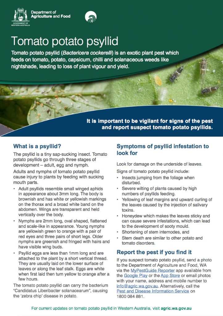 Tomato potato psyllid