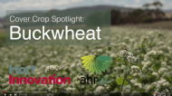 Cover crop spotlight on Buckwheat