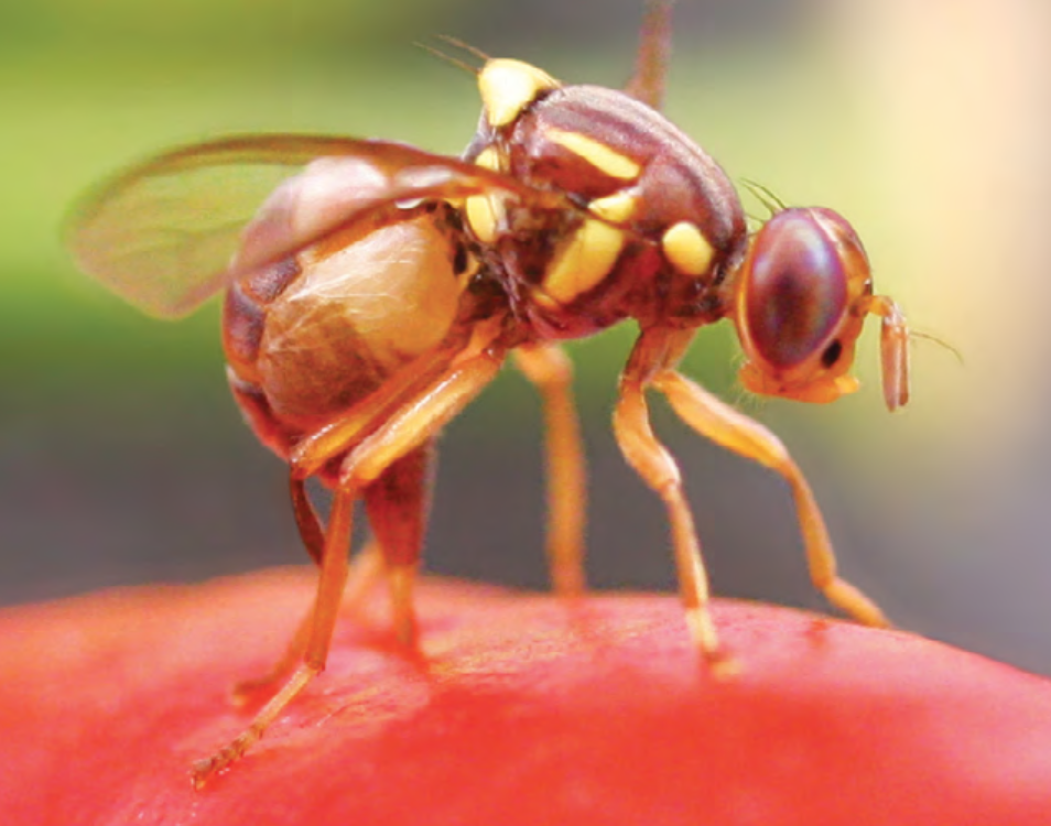 Fruit fly management for vegetable growers