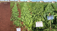 Cover crop demonstration trial results – Tasmania