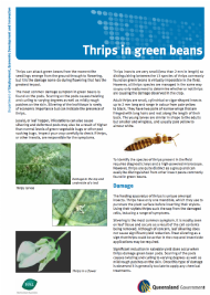 Thrips in green beans