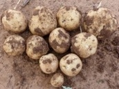 Irrigation monitoring in potatoes Part 2: Practical use of satellite information